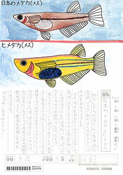 日本のメダカとヒメダカ